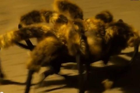 """Video: ¡BROMA ES FUROR! Espanto causa en las calles la mutación de un """"Perro araña"""""""
