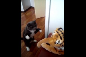 ¡Gato boxeador pelea contra un tigre!