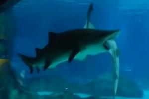 ¡Tiburón se come a otro tiburón!